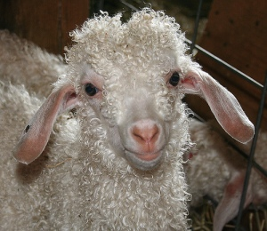 Angora Goat by Bev Knits