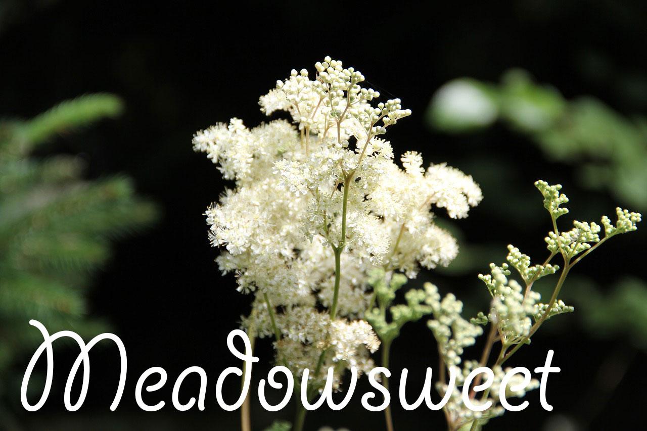 Meadowsweet